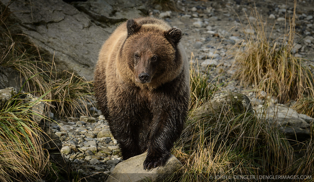 A grizzly bear walks along the Chilkoot River at the Chilkoot Lake State Recreation Site near Haines, Alaska.<br /> <br /> The Chilkoot River outlet of Chilkoot Lake offers some of the best salmon fishing in Southeast Alaska. Four salmon runs are an open invitation for bears to feast on the spawning salmon. At times, the Chilkoot River Corridor has some of the highest bear activity in the state. The Chilkoot River corridor area is extremely narrow with room for an equally narrow road with few pullouts for tourists and fisherman causing traffic and congestion. This creates a serious conflict between humans and bears.<br /> <br /> Care must be taken by visitors to the area to protect themselves and the bears. Bear and human conflicts have been increasing in recent years to the point that a special human free zone was established to give bears access to the river. In addition a bear viewing platform is under development to provide a safer location for visitors to view bears feeding in the river. The area is part of the Chilkoot Lake State Recreational Site located near Haines, Alaska at the head of the Lutak Inlet in the Lynn Canal.<br /> <br /> The Chilkoot River ranks second in popularity for Southeast Alaska freshwater sports fishing. The area is also an important cultural area for the Tlingit people and site of a culture camp.<br /> <br /> EDITORS NOTE: Bear was photographed with a telephoto lens from a bridge to allow the bear free movement.