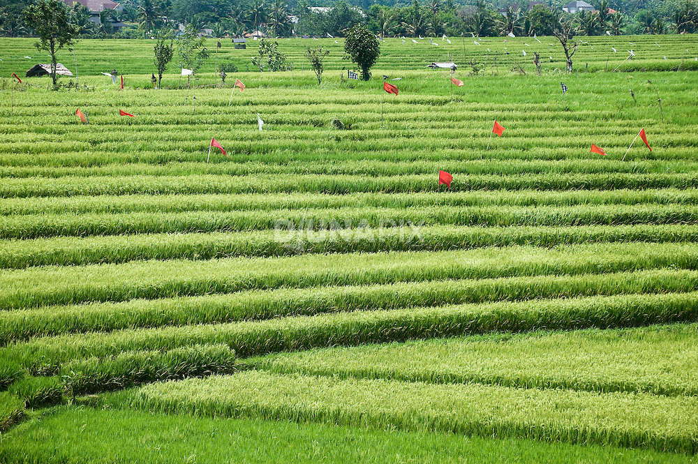 Broad view of rice fields, Canggu, Bali