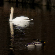 A swan glides past a family of ducks on lake in Tibbets Brook Park, Yonkers, New York.