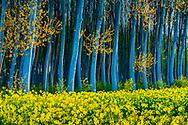 Rapeseed crop (Brassica napus) and poplar (Populus sp.) grove. Murieta village. Estella Comarca, Navarre, Spain, Europe.