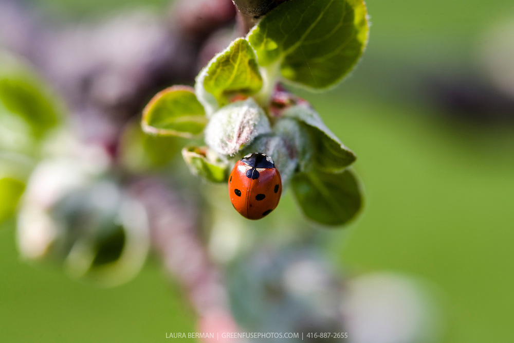 Ladybug beetle on an apple flowerbud against a green background.