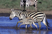 Plains Zebra<br /> Equus burchelli<br /> Mother and young foal at waterhole<br /> Ngorongoro Conservation Area, Tanzania