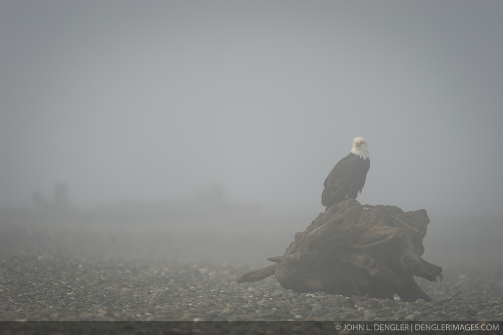 A bald eagle (Haliaeetus leucocephalus) sits on a log on the gravel bar of the Chilkat River in the Alaska Chilkat Bald Eagle Preserve near Haines, Alaska. During late fall, bald eagles congregate along the Chilkat River to feed on salmon. This gathering of bald eagles in the Alaska Chilkat Bald Eagle Preserve is believed to be one of the largest gatherings of bald eagles in the world.
