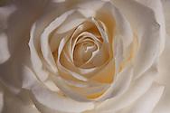 De roos die altijd open gaat. Avalanche+ staat als moderne klassieker op eenzame hoogte. De rozen hebben lange sterke stelen met verrassend weinig stekels. De stelen worden bekroond door een zware, volle grote bloemknop die altijd open gaat. Tel daarbij een lange vaastijd (12-14+ dagen) en jaarrond verkrijgbaarheid bij op en het is duidelijk dat Avalanche+ zowel betrouwbaar als bijzonder is. Wie garantie op klasse en stijl waardeert, kiest voor dit authentieke Nederlandse product, dat al vele malen in de prijzen is gevallen.  Zie verder www.avalancherozen.nl.