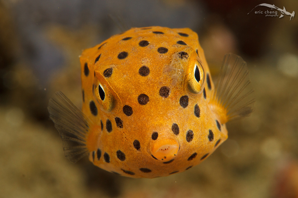 Juvenile yellow boxfish (Ostracion subicus). Ambon, Maluku, Indonesia.