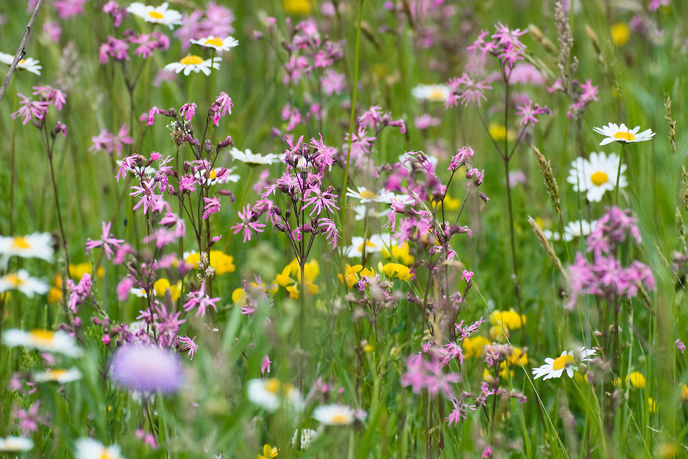 Flowering Meadow with, Marguerites, Leucanthemum vulgare, and Ragged Robin, Lychnis flos-cuculi, Poloniny National park, Western Carpathians, Slovakia, Europe