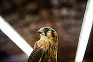 Falconry in the Suburbs for VQR