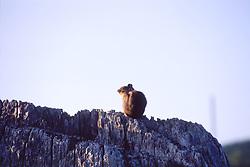Townsend's chipmunk (Neotamias townsendii), Mt. St. Helens National Volcanic Monument, Washington, US