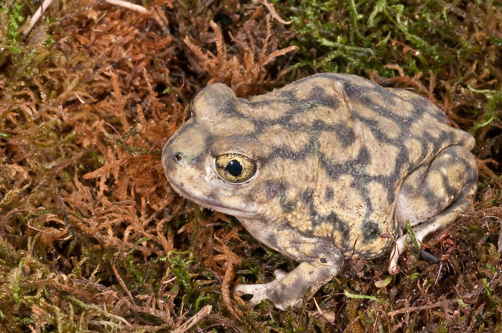 Couch's spadefoot toad, Scaphiopus couchii, is native to the southwestern United States, northern Mexico, and the Baja peninsula.