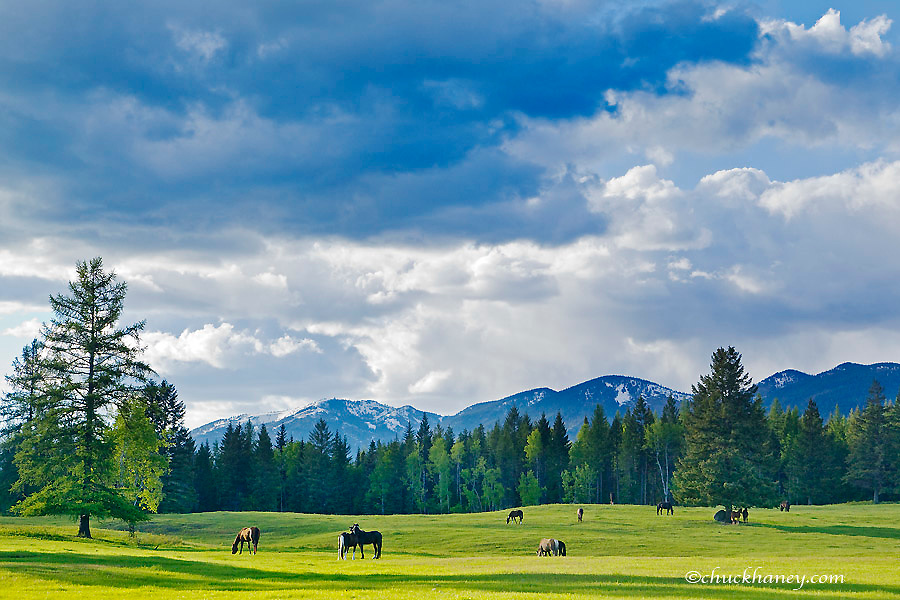 Horses graze in pasture near Whitefish, Montana, USA