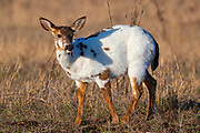 A piebald Columbian black-tailed deer (Odocoileus hemionus columbianus) stands in a field in Pierce County, Washington. Piebaldism is caused by a genetic mutation that affects less than 2 percent of deer. Piebaldism differs from albinism in that piebald animals have cells that can produce pigment, but those cells don't. Piebald deer have a relatively low survival rate because they also often suffer from other deformities, particularly leg and spine issues.