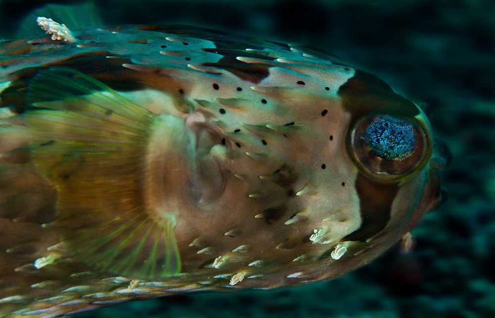 A Puffer fish In the Philippines. Muck divers head straight to Dauin to begin the hunt. It is considered one of the premier muck diving locations on the planet. On a bad day at Dauin, you can spot more rare animals than a decade out on the reef...