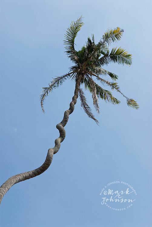 Cork-screwed coconut tree, Sumatra, Indonesia