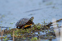 Eastern painted turtle (Chrysemys picta) on edge of wetland, Annapolis Royal Marsh, French Basin trail, Annapolis Royal, Nova Scotia, Canada,
