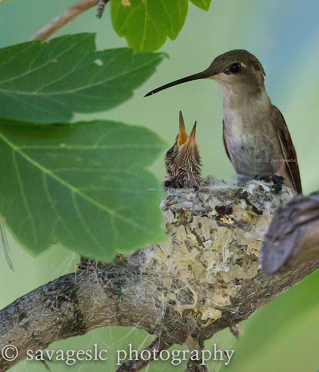 Hummingbird chick with mom. Salt Lake Valley, Utah