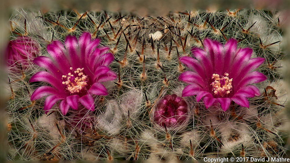 Small barrel cactus flowers. Composite of 33 focus stacked images taken with a Nikon Df camera and 105 mm f/2.8 VR macro lens and TCE III 2x teleconverter (ISO 100, 105 mm, f/4, 1/125 sec) and SB-910 flash (EV -2). Images processed using Helicon Focus - Method B (depth map, R = 8, S = 4).