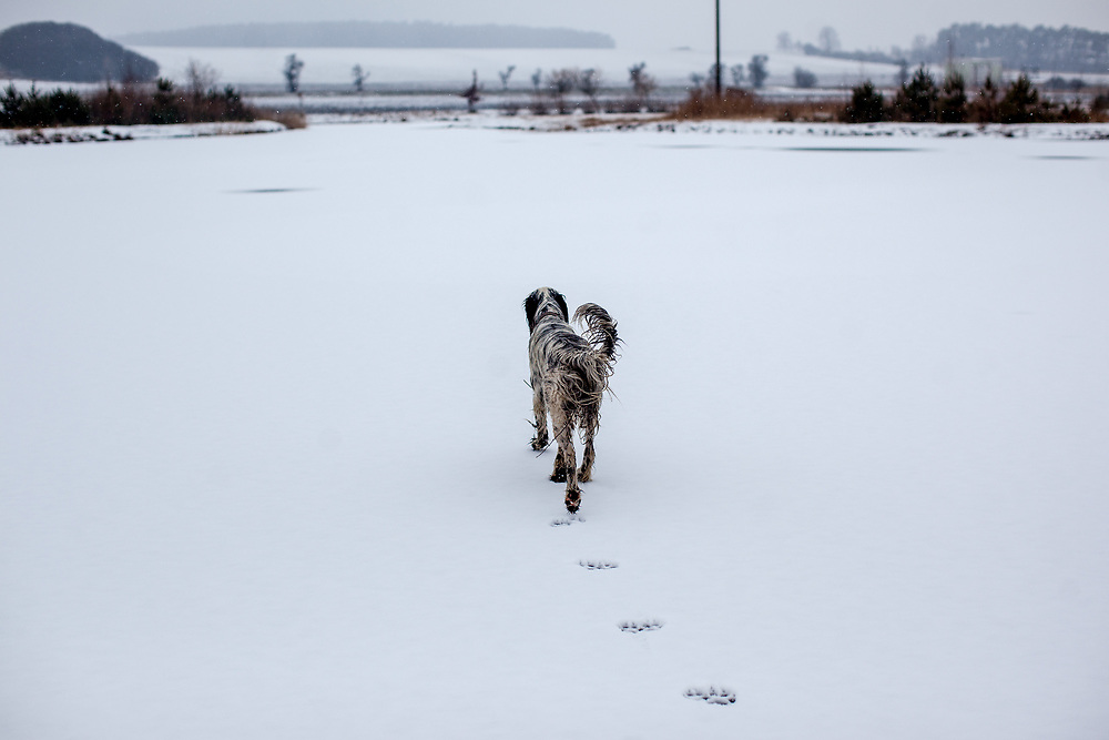 """English Setter """"Rudy"""" läuft am 06.03. 2018 über seinen gefrorenen Teich in Stara Lysa, (Tschechische Republik).  Rudy wurde Anfang Januar 2017 geboren und ist vor ungefähr einem Jahr zu seiner neuen Familie umgezogen."""