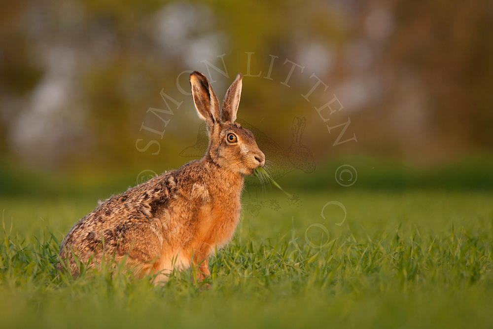 European Hare (Lepus europaeus) adult, feeding in barley field, Norfolk, England