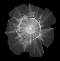 X-ray image of a budding prickly pear blossom (Opuntia, white on black) by Jim Wehtje, specialist in x-ray art and design images.