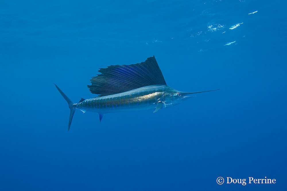 Atlantic sailfish, Istiophorus albicans ( considered by some to be a single species worldwide, Istiophorus platypterus ), lit up with excited colors while chasing bait, off Yucatan Peninsula near Contoy Island and Isla Mujeres, Mexico ( Caribbean Sea )