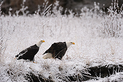 Attentive bald eagles (Haliaeetus leucocephalus) sit on a snow covered bank of the Chilkat River looking for salmon to eat in the Alaska Chilkat Bald Eagle Preserve near Haines, Alaska. During late fall, bald eagles congregate along the Chilkat River to feed on salmon. This gathering of bald eagles in the Alaska Chilkat Bald Eagle Preserve is believed to be one of the largest gatherings of bald eagles in the world.
