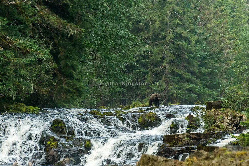 A brown bear (Ursus arctos) walks across a small waterfall in search of salmon in Pavlof harbor, Alaska.