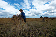 Harvesting of old style crop for use by thatchers using old-fashioned methods at Skeyton. <br /> <br /> Picture: MARK BULLIMORE