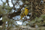 Kenya, Lake Nakuru National Park, Male African masked-weaver (Ploceus velatus) perched on a branch. This male has breeding plumage, February 2007