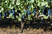 Tempranilla black grapes for Rioja red wine in vineyard in Rioja-Alavesa area of Basque country, Spain