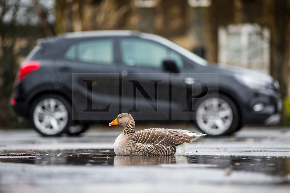© Licensed to London News Pictures. 10/04/2018. York UK. A goose sits in a puddle as it rains at Clifford Tower car park in York city centre this morning. Photo credit: Andrew McCaren/LNP