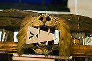 A stuffed lion's head is exhibited on a wall of the House Of The Trembling Madness pub in York, Yorkshire, England, United Kingdom.