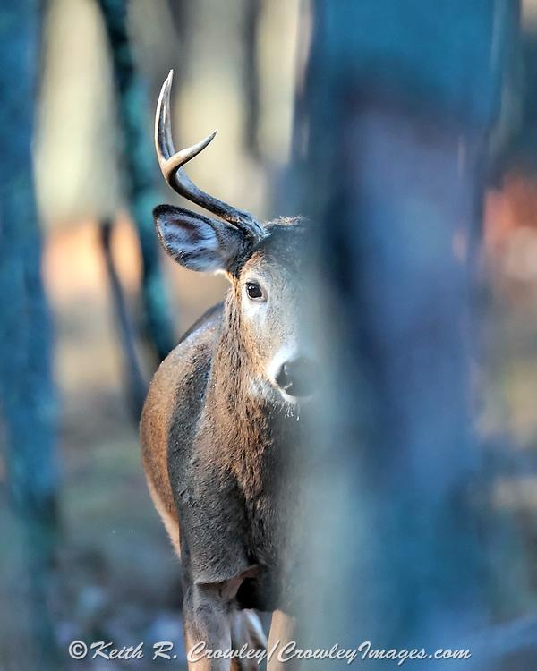 Whitetail buck in habitat