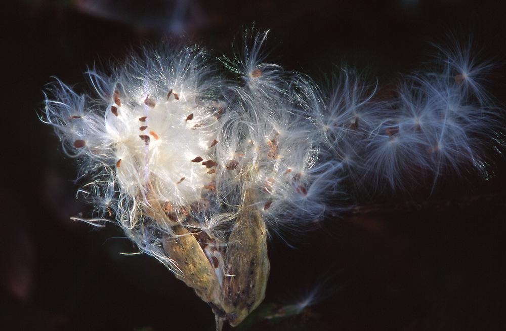milkweed, summer, windblown, Moraine State Park, PA