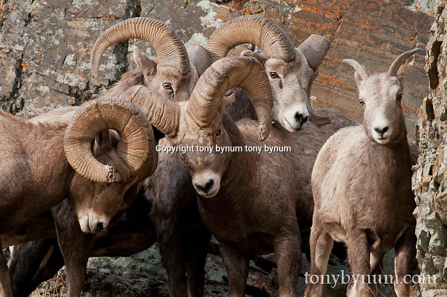 bighorn rams holding ewe in rocks rutting sheep wild rocky mountain big horn sheep