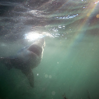 Great white shark underwater view