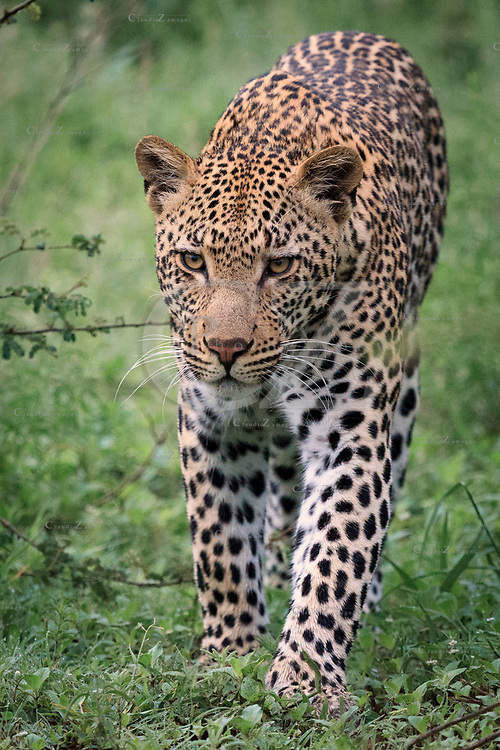 Leopard (panthera pardus) at Kruger National Park, south africa<br />