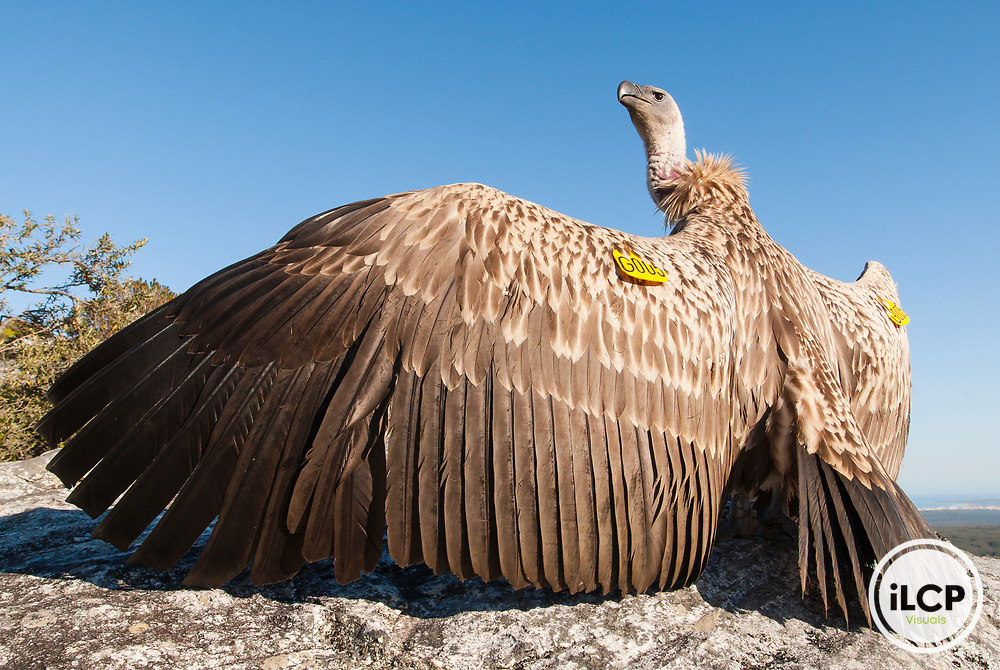 Wing-tagged Cape Vulture sunning its wings, De Hoop Nature Reserve, Western Cape, South Africa