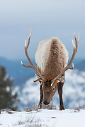 A bull elk (Cervus elaphus) foraging for grasses on a windswept hill, Yellowstone National Park, Wyoming