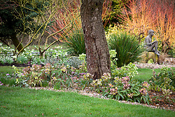 Helleborus x sternii 'Ashwood Strain' planted around base of a cedar tree with cornus bed and statue beyond.