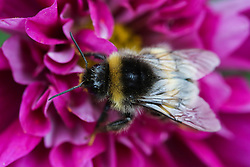 © Licensed to London News Pictures. 01/09/2016. Harrogate, UK. A bee collects nectar from a colourful Cosmos flower at RHS Garden Harlow Carr in Harrogate, North Yorkshire. Bees are very busy this time of year as they work hard to collect enough nectar to survive through the winter. Today marks the first day of autumn and the end of summer. Photo credit : Ian Hinchliffe/LNP