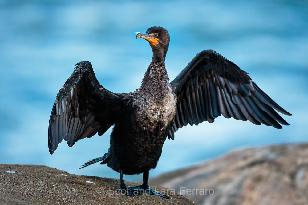 A double-crested cormorant dries it's wings on the coast of La Jolla, California.
