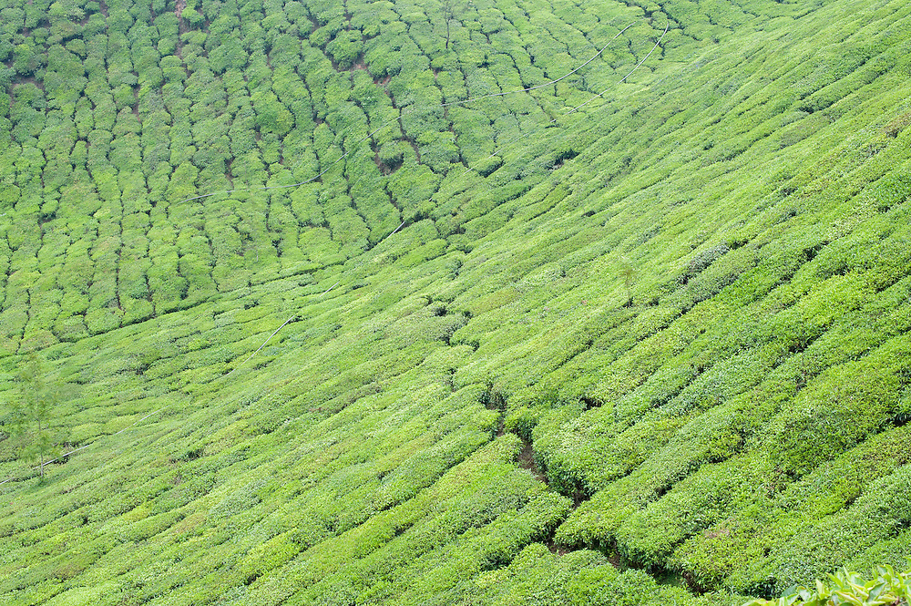 Tea plantation in Munnar (India)