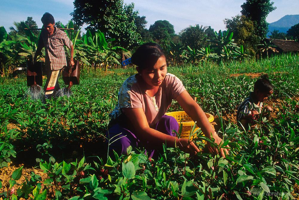 Working in the vegetable garden in a village in the Tenasserim region. Burma 1999