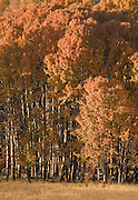 A pasture near Glenwood, WA, USA is bordered with autumn colored aspen.