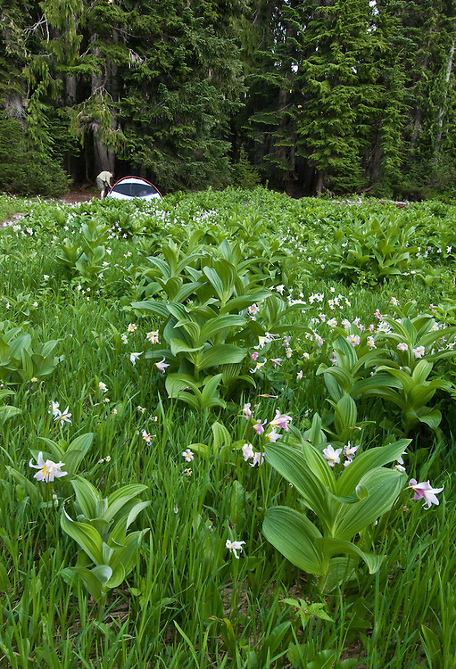 Sol Duc Park backpacker campsite on meadow with avalanche lilies and corn lily, Olympic National Park, Washington.