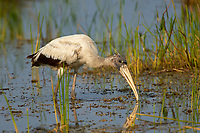 Wood Stork, (Mycteria americana), Arthur J Marshall National Wildlife Reserve - Loxahatchee, Florida