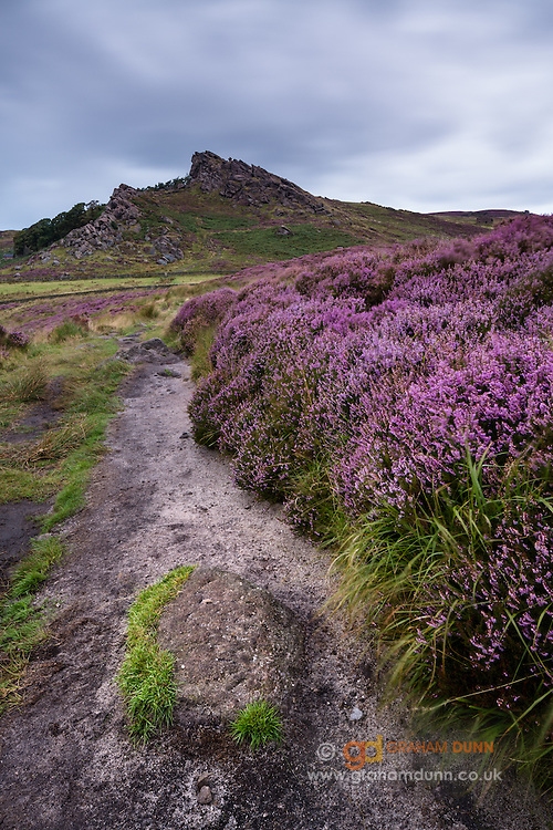 The dramatic profile of The Roaches surrounded by colourful heather moorland in the south wertern Peak District. As seen from Hen Cloud. Summer colours in Staffordshire. England, UK. August, 2014.
