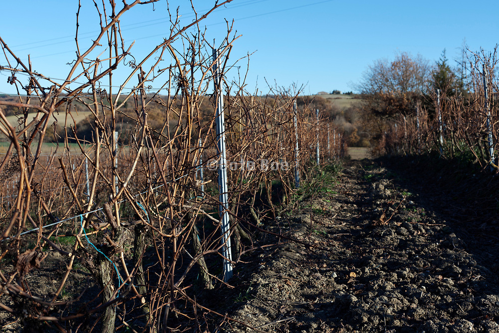 bare vineyard during late autumn season France Languedoc