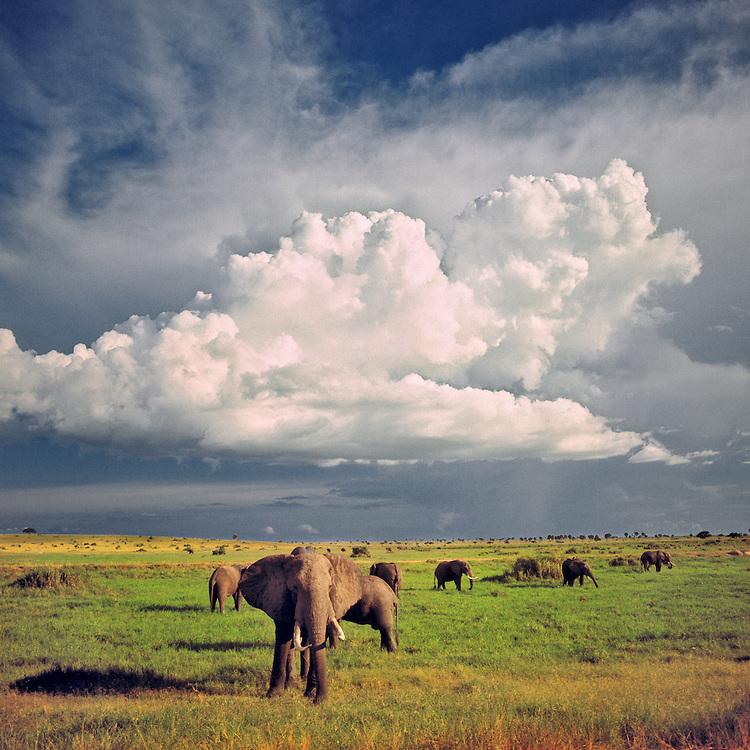 An elephant herd wanders beneath enormous cumulous clouds in Murchison National Park, Uganda.