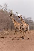 Masai giraffe twins, Kruger, South Africa